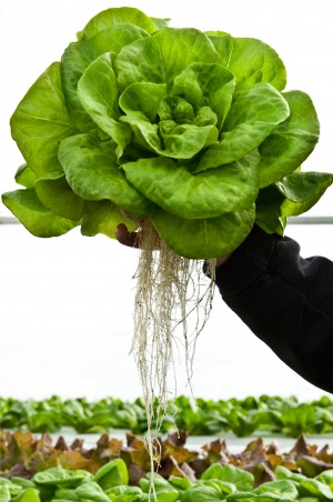 ButtercrunchLettuce