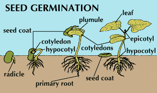 seedGermination