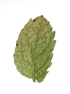 UnhealthySpearmintLeaf